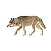 Gray wolf trotting.