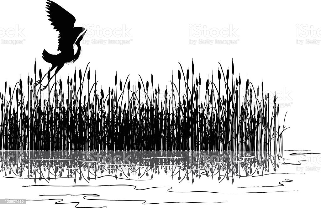 Great Blue Heron Flying Over Cattails in Marsh Grey Scale vector art illustration
