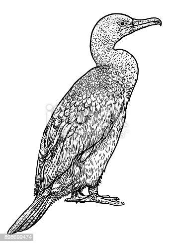 istock Great Cormorant illustration, drawing, engraving, ink, line art,   vector 898699474