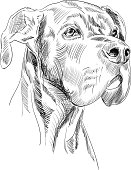 Great Dane Dog Head Sketch