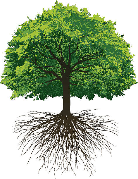 Great Oak Roots Vectored Oak Tree with roots made from photographing a tree in winter and a tree in summer. origins stock illustrations