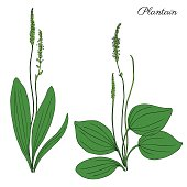 Great plantain, Plantago major medicinal plant wild field flower isolated on white background, hand drawn vector doodle colorful illustration for design package tea, cosmetic, medicine, greeting cards