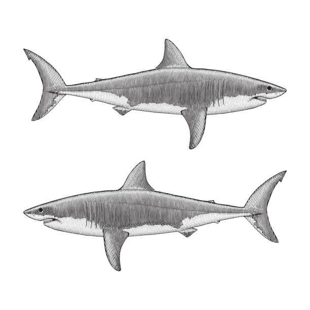 great white shark illustration - граттаж stock illustrations