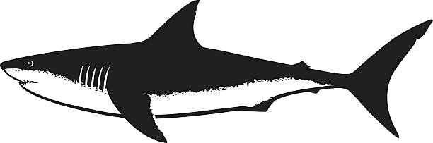 Great White Shark Silhouette Isolated on White Vector illustration of Great White Shark, saltwater fish in one black color isolated on white great white shark stock illustrations