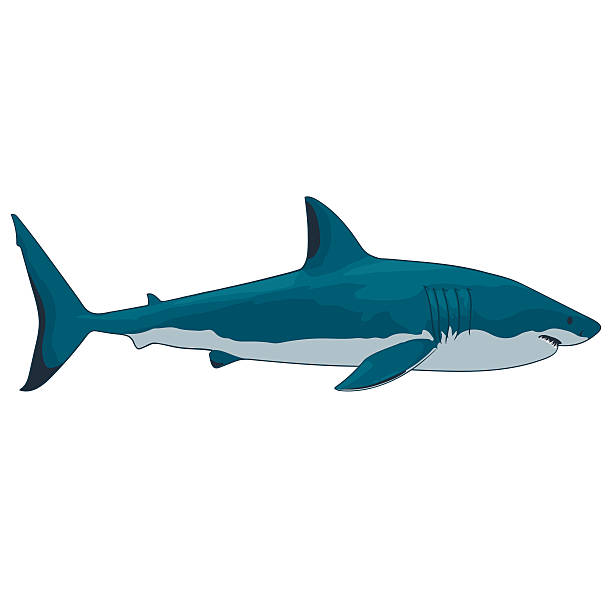 great white shark great white shark on a white background isolated great white shark stock illustrations