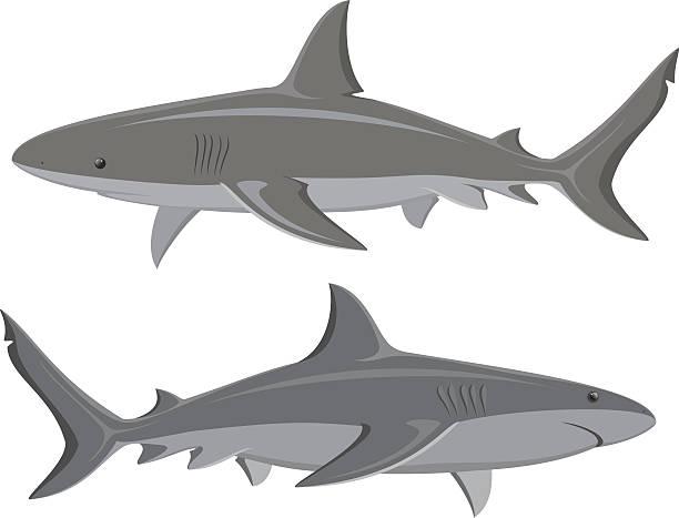 Great White Sharks Set Sharks. Set of two great white sharks isolated on white. Vector.  great white shark stock illustrations