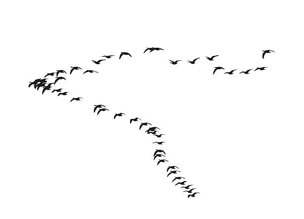 Greater white-fronted goose wedge in flight. Silhouette of birds vector art illustration