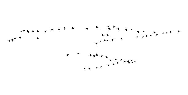 Greater white-fronted goose wedge in flight. Vector silhouette a flock of birds Greater white-fronted goose wedge in flight. Vector silhouette a flock of birds.Greater white-fronted goose wedge in flight. Vector silhouette a flock of birds. flock of birds stock illustrations
