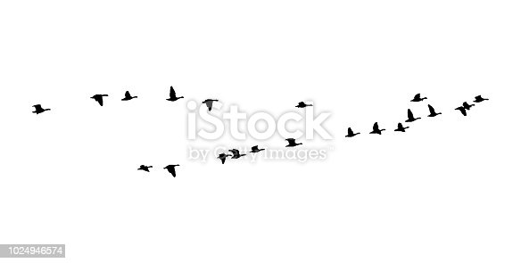 Greater white-fronted goose wedge in flight. Vector silhouette a flock of birds.Greater white-fronted goose wedge in flight. Vector silhouette a flock of birds.