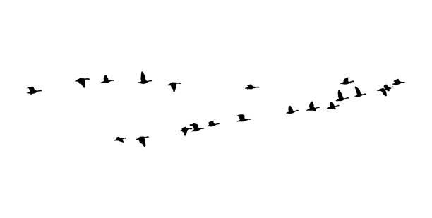 größere weiße – anser gans keil im flug. vektor-silhouette ein vogelschwarm - gans vogel stock-grafiken, -clipart, -cartoons und -symbole