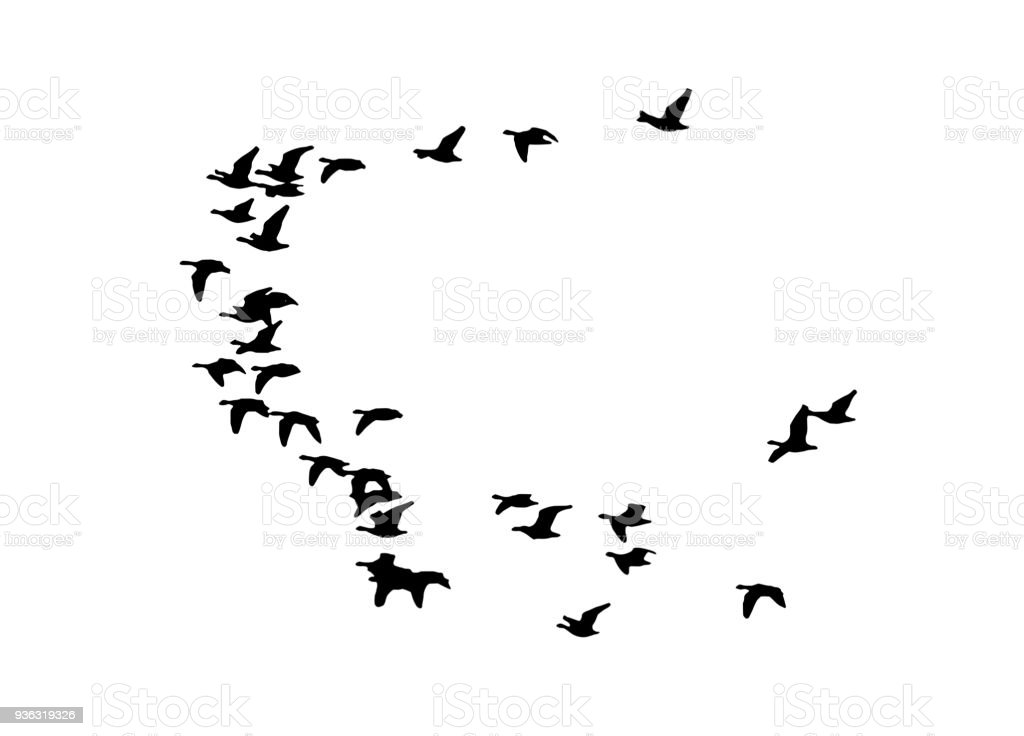 Greater white-fronted goose wedge in flight. Vector silhouette a flock of birds vector art illustration