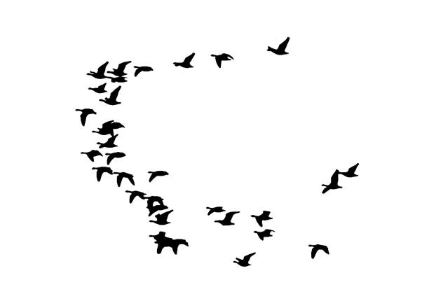 Greater white-fronted goose wedge in flight. Vector silhouette a flock of birds Greater white-fronted goose wedge in flight. Vector silhouette a flock of birds goose bird stock illustrations