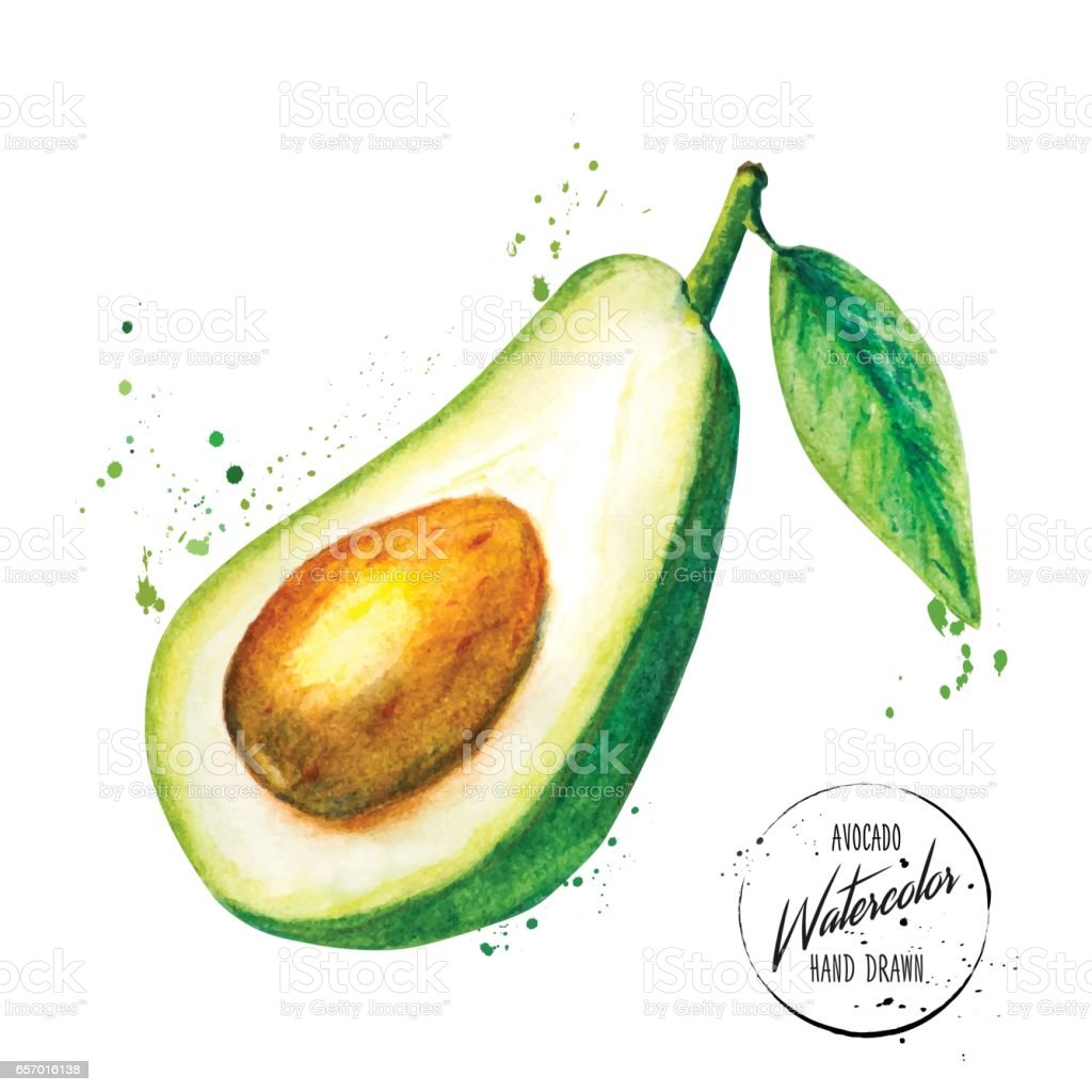 Green avocado painted watercolor vector art illustration