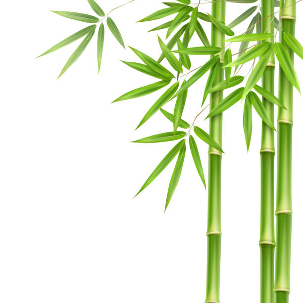 royalty free bamboo tree clip art vector images illustrations