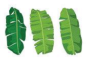 istock Green banana leaf fresh on white background illustration vector 1312508931