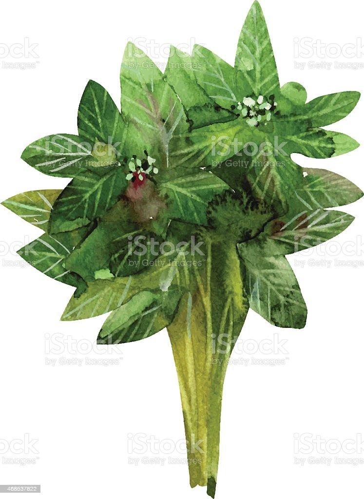 green basil vector art illustration