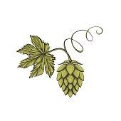 Green beer hop flower.