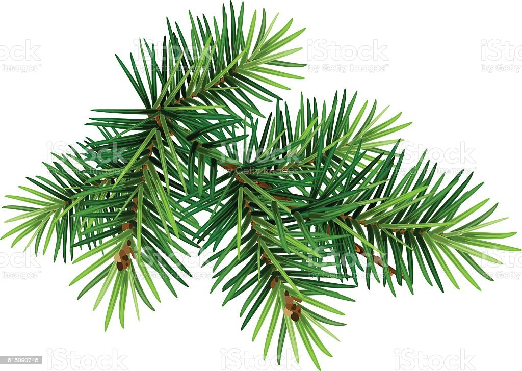Green Christmas pine tree branch vector art illustration