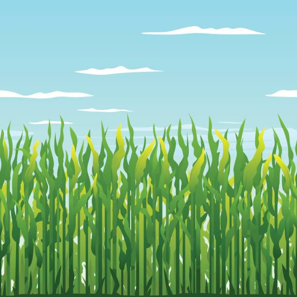 green corn plants background - corn field stock illustrations, clip art, cartoons, & icons