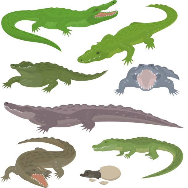 green crocodile and alligator reptile wild animals vector illustration collection cartoon style - alligator stock illustrations
