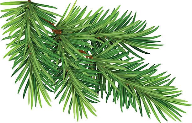 zielona puszysta gałąź sosny. odizolowane na białym tle - gałązka stock illustrations