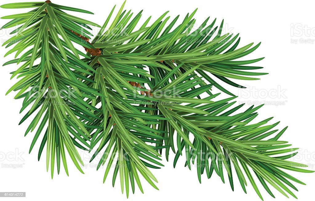 Green fluffy pine branch. Isolated on white background vector art illustration