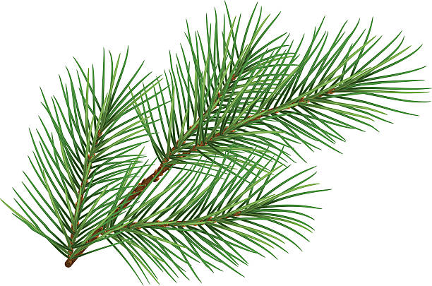 Green fluffy pine branch symbol of new year Green fluffy pine branch symbol of new year. Isolated on white background. Illustration in vector format branch plant part stock illustrations