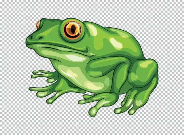 Green frog on transparent background vector art illustration