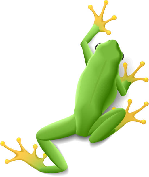 1 339 Tree Frog Illustrations Royalty Free Vector Graphics Clip Art Istock Tree frog illustrations and clipart (3,458). https www istockphoto com illustrations tree frog