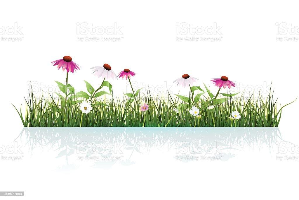 Green grass and echinacea purpurea ( purple coneflower) flower vector art illustration