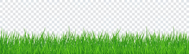 Green Grass Isolated Transparent background. Vector Illustration vector art illustration