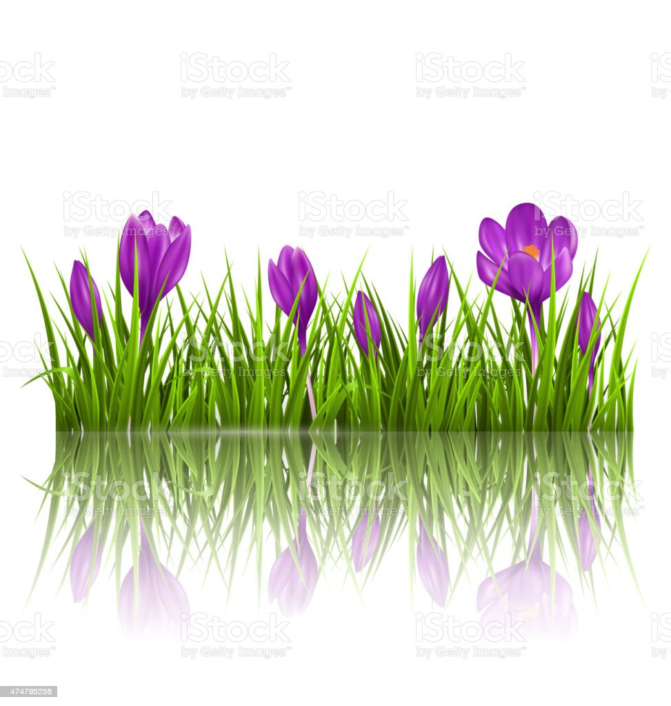 Green grass lawn and violet crocuses with reflection on white vector art illustration