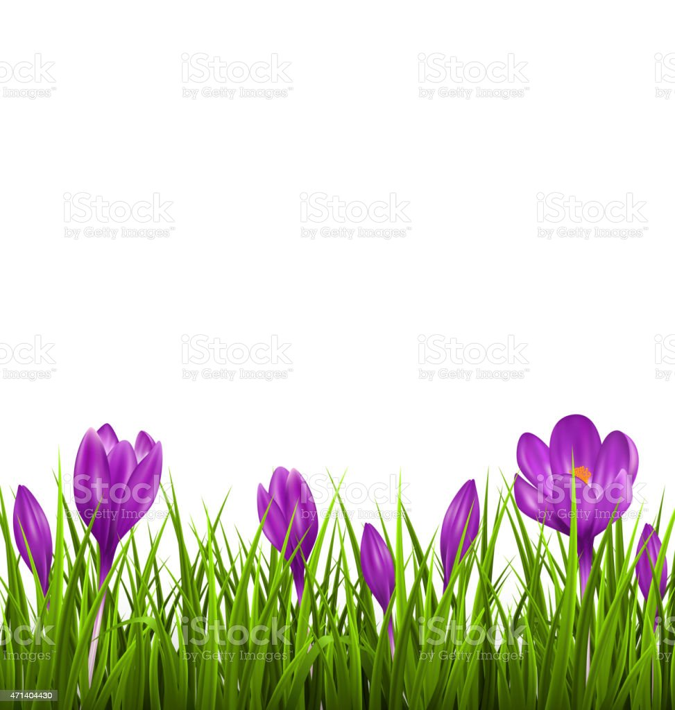 Green grass lawn with violet crocuses isolated. Floral nature sp