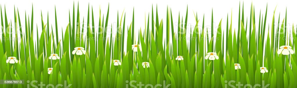 Green grass with blooming chamomiles isolated on white backgroun vector art illustration