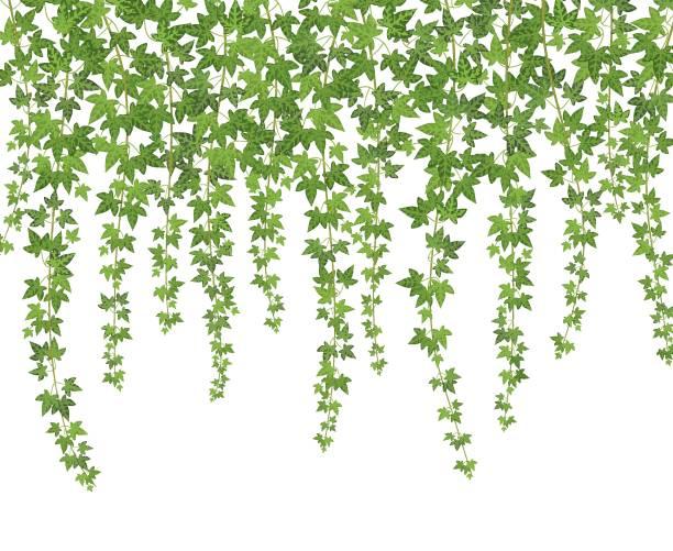 stockillustraties, clipart, cartoons en iconen met groene klimop. klimplant muur klimmen plant opknoping van bovenaf. tuin decoratie ivy wijnstokken achtergrond - klimop
