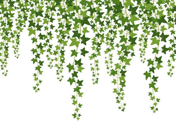 ilustrações de stock, clip art, desenhos animados e ícones de green ivy. hanging from above creepers with leaves, lush climbing plants garden decoration wall, website banner vector background - ivy building