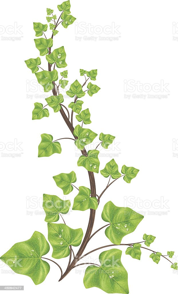 Green Ivy Vine Ornament Stock Vector Art & More Images of ...