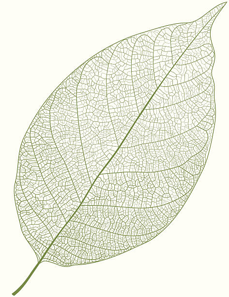 Green Leaf Isolated detailed green vector leaf on white background extreme close up stock illustrations
