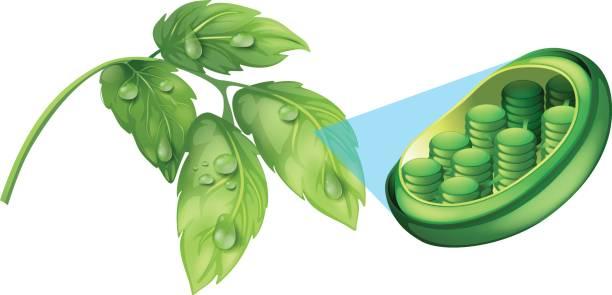grüne blätter und zelle anlagenschema - stoffwechsel stock-grafiken, -clipart, -cartoons und -symbole