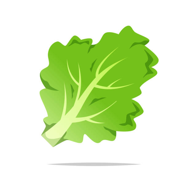 green lettuce vector isolated illustration - lettuce stock illustrations