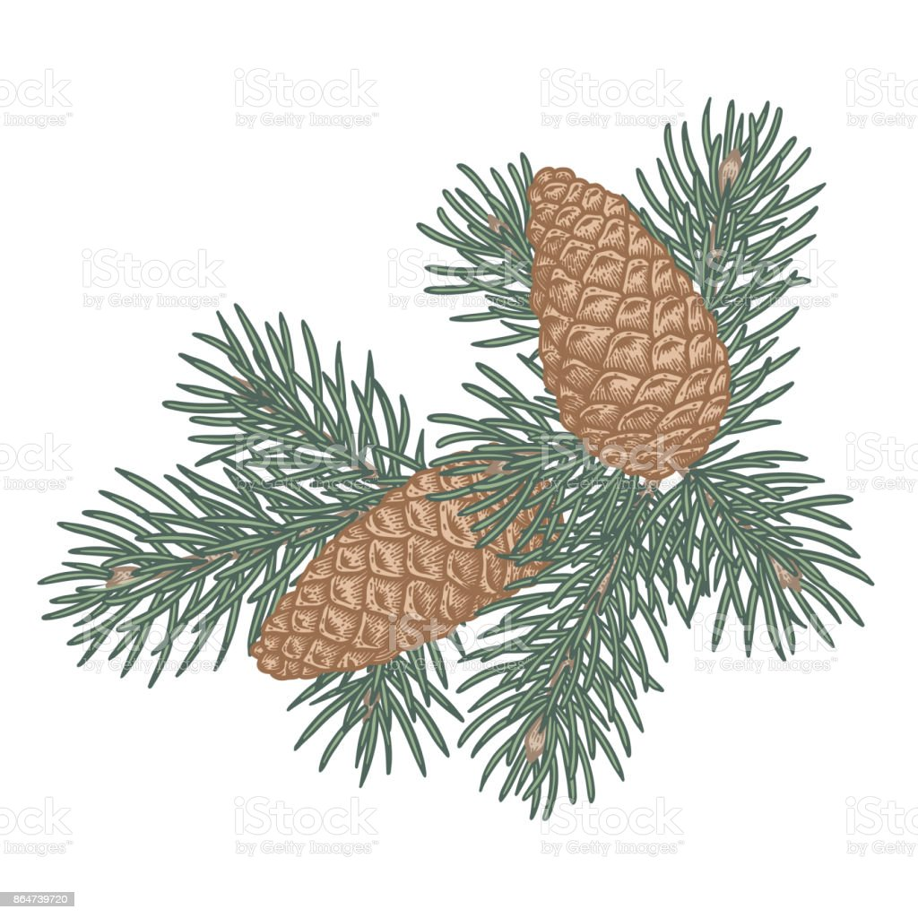 Green Lush Spruce Branch And Pine Cone Stock Vector Art & More ...
