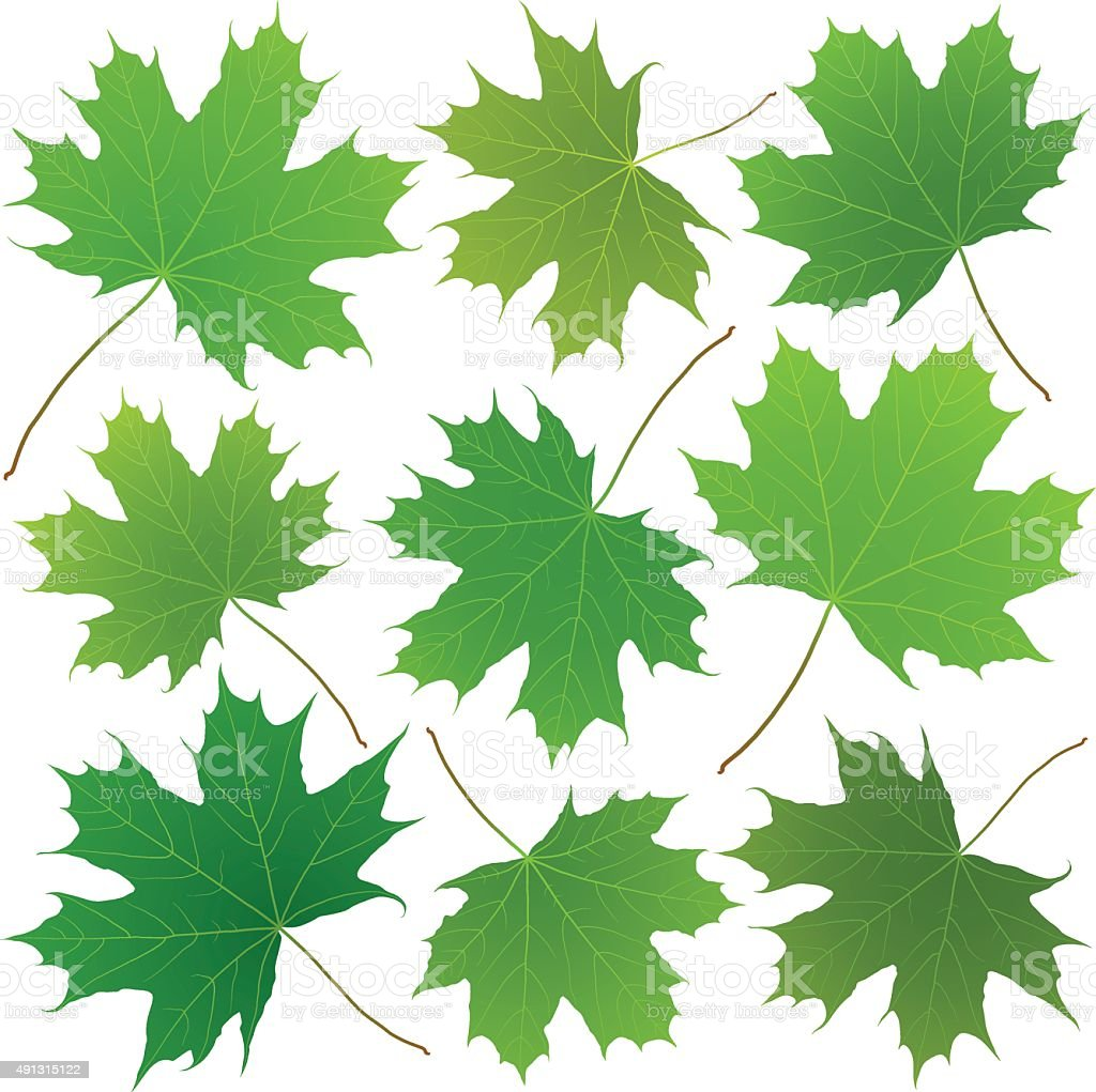 green maple leaves vector art illustration