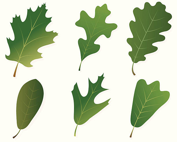 Green Oak Leaves Vector illustrations of six different types of oak leaves: Northern Red Oak, Post Oak, English Oak, Live Oak, Southern Red Oak and Blackjack Oak.  Illustrations use linear gradients.  Each leaf is on its own layer, and each is easily separated from the others and from the shadow/background layer.  .ai and AI8-compatible .eps formats are included, along with a high-res .jpg. oak leaf stock illustrations