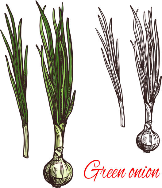 Green onion, leek or scalion vegetable sketch Green onion vegetable isolated sketch of scallion with fresh leaf. White bulb and green stalk of spring onion or leek icon for grocery shop or farm market label design scallion stock illustrations
