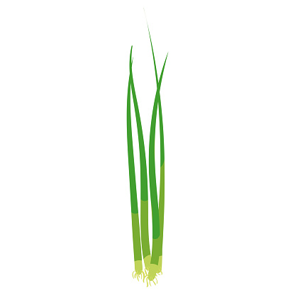 Green onion, natural healthy organic nutrition product, scalion. Vector doodle cartoon flat trendy illustration hand drawn isolated