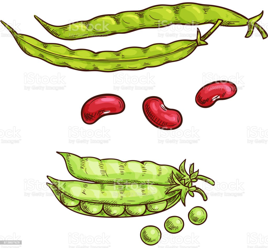 Green pea pod and beans sketch icons vector art illustration