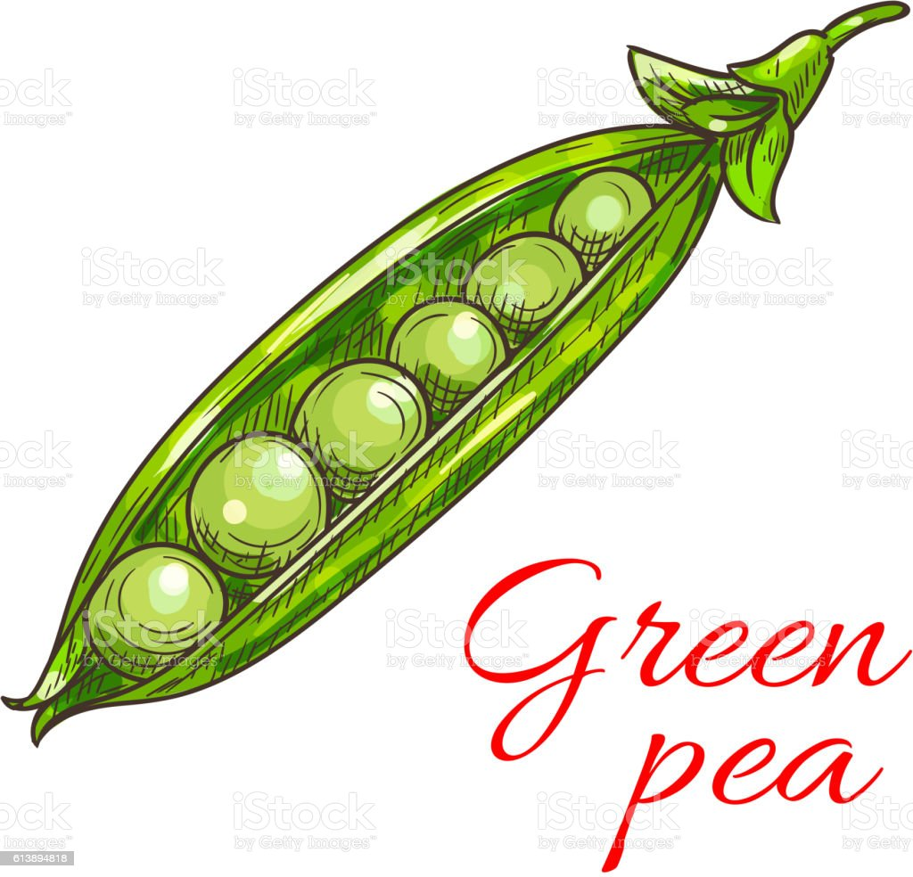 Green pea pod vegetable sketch icon vector art illustration