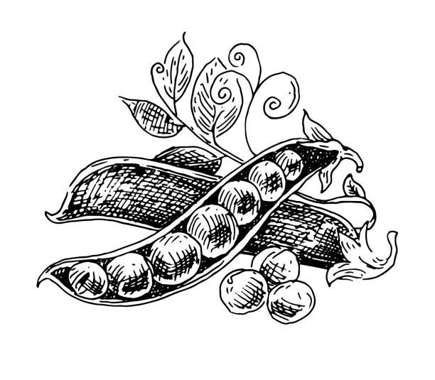 green peas, pods, black and white graphics, drawing made by hand - like two peas in a pod stock illustrations, clip art, cartoons, & icons
