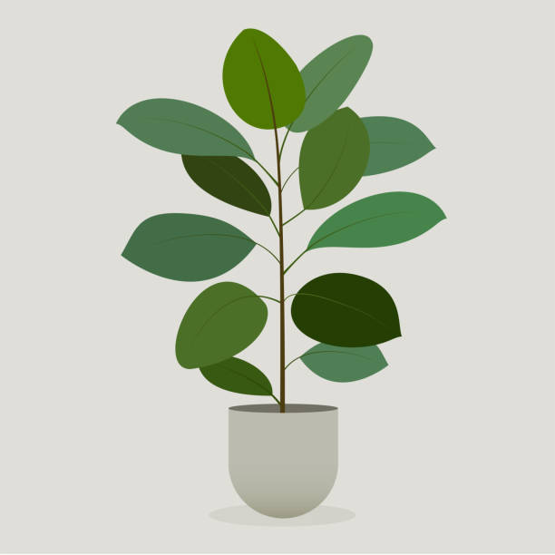Green plant in a pot . Rubber Plant Green plant in a pot . Rubber Plant fig stock illustrations
