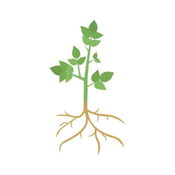 illustrazioni stock, clip art, cartoni animati e icone di tendenza di green plant sprout with roots - radice